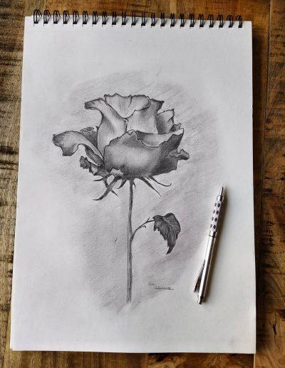 Tekening van een Rosa lucida