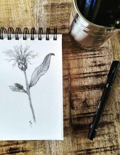 Tekening van de Centaurea Montana